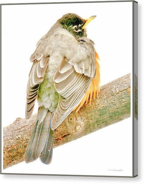 American Robin Male, Animal Portrait Canvas Print