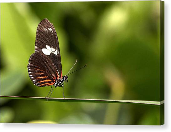 Butterfly Canvas Print by Theo Tan