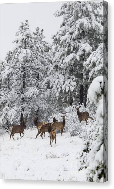 Elk In Deep Snow In The Pike National Forest Canvas Print