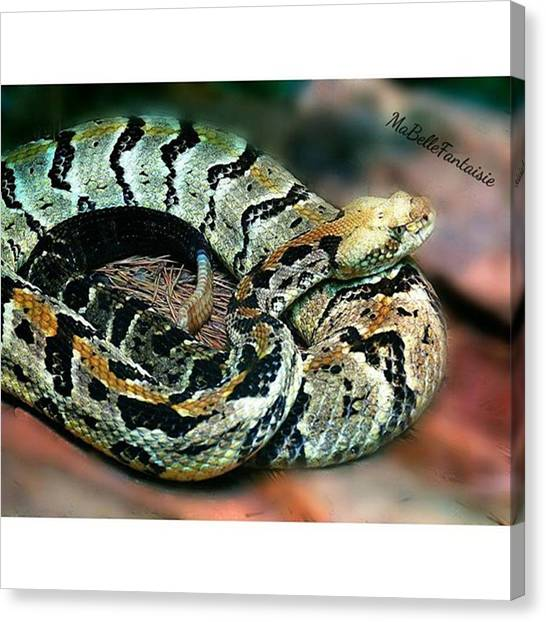 Rattlesnakes Canvas Print - #igers #instagramers #instagood by Amber Villanueva