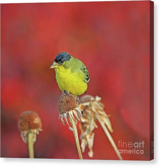 Canvas Print - Lesser Goldfinch by Gary Wing