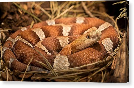 Pythons Canvas Print - Snake by Jackie Russo