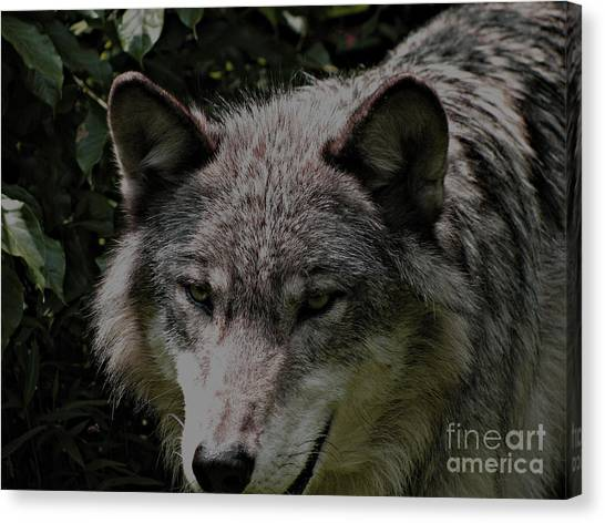 The Wild Wolve Group B Canvas Print by Debra     Vatalaro