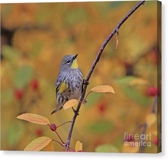Canvas Print - Yellow-rumped Warbler by Gary Wing