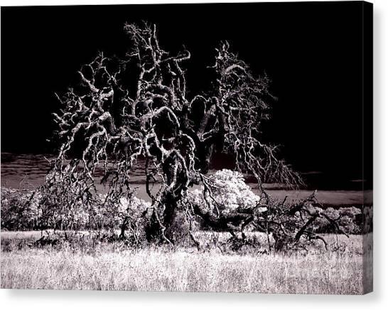 90237 Texas Live Oak Canvas Print