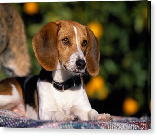 Beagles Canvas Print - Dog by Mariel Mcmeeking