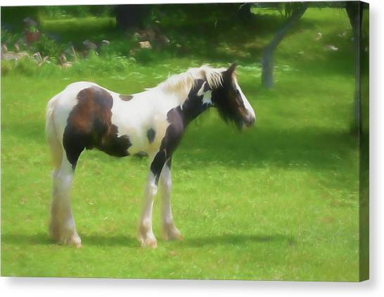 A Beautiful Young Gypsy Vanner Standing In The Pasture Canvas Print