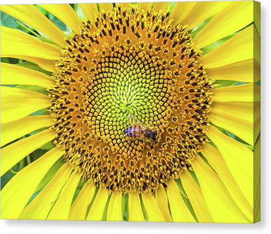 A Bee On A Sunflower Canvas Print