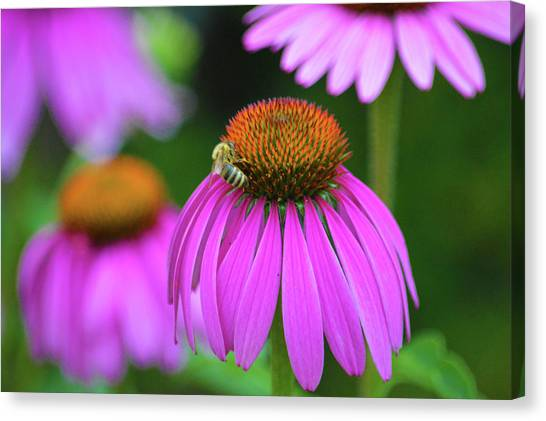 Central Michigan University Canvas Print - Echinacea Flower Bee by Steven Covieo