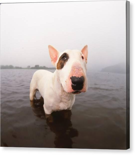 Oyama Canvas Print - A Bull Terrier In Water by Cica Oyama