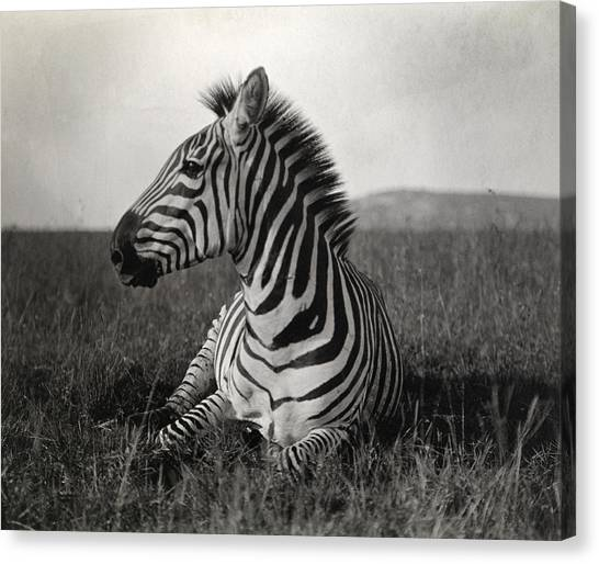 Zebras Canvas Print - A Burchells Zebra At Rest by Carl E. Akeley