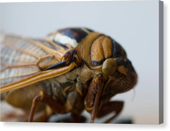 University Of Nebraska Canvas Print - A Bush Cicada At The University by Joel Sartore