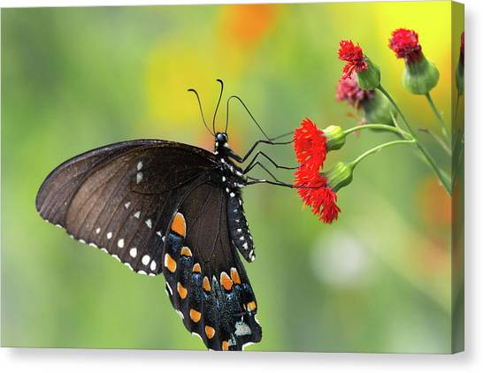 A Butterfly  Canvas Print