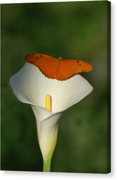 Canvas Print - A Butterfly Lands Upon A Lily I by Susan Heller