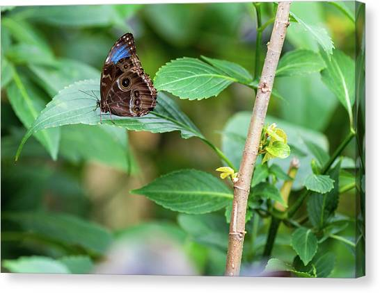 Canvas Print featuring the photograph A Butterfly Waiting by Raphael Lopez
