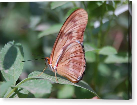 Canvas Print - A Butterfly With Closed Wings by Susan Heller