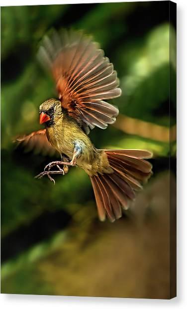 A Cardinal Approaches Canvas Print