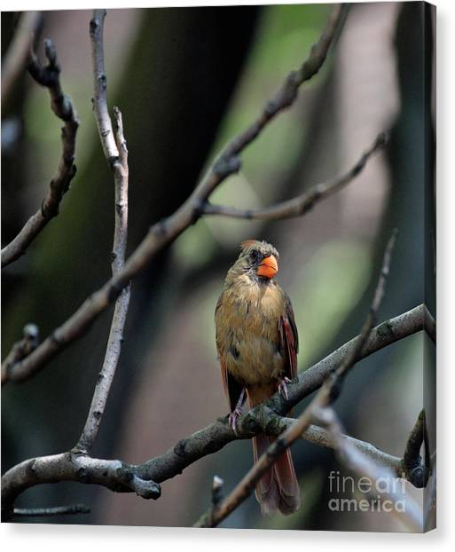 Canvas Print featuring the photograph A Cardinal's View From The Treetops In Central Park by Patricia Youngquist