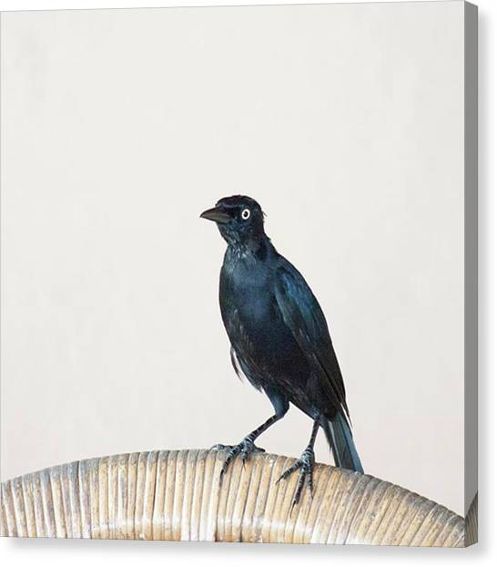Animals Canvas Print - A Carib Grackle (quiscalus Lugubris) On by John Edwards