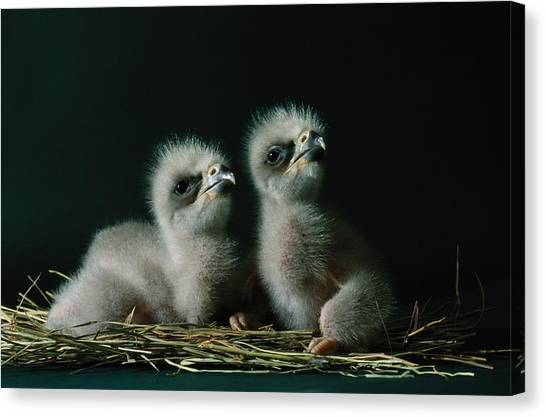 And Threatened Animals Canvas Print - A Close-up Shows Two Southern American by Joel Sartore