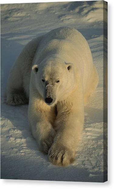 And Threatened Animals Canvas Print - A Close View Of A Polar Bear Resting by Tom Murphy