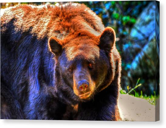 A Curious Black Bear Canvas Print