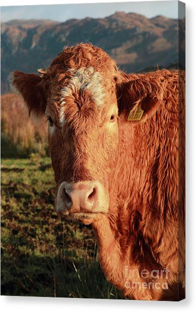A Curious Red Cow Canvas Print