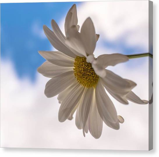 A Different Daisy Canvas Print