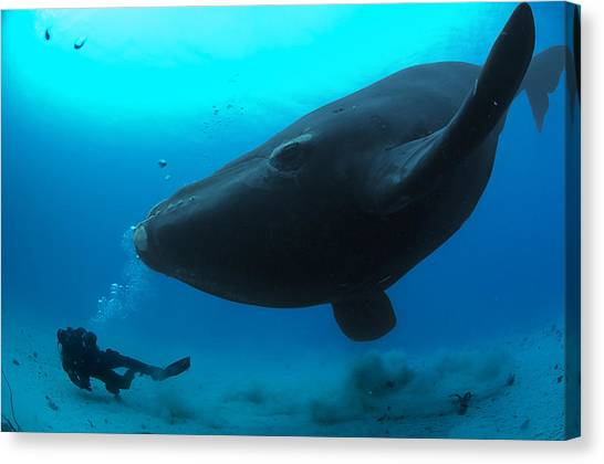 And Threatened Animals Canvas Print - A Diver Has A Close Encounter Wih by Brian J. Skerry