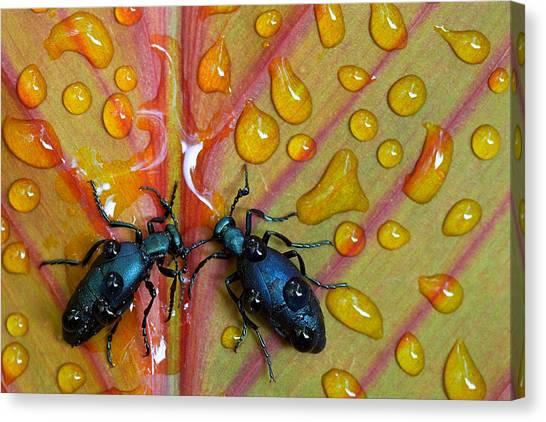 Bug Canvas Print - A Drink For Two by Stephen Clough