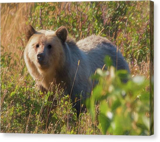 A  Female Grizzly Bear Looking Alertly At The Camera. Canvas Print