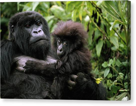 And Threatened Animals Canvas Print - A Female Mountain Gorilla And Her Child by Michael Nichols