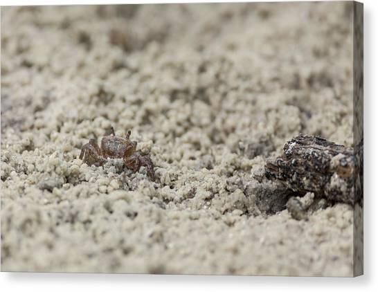 A Fiddler Crab In The Sand Canvas Print