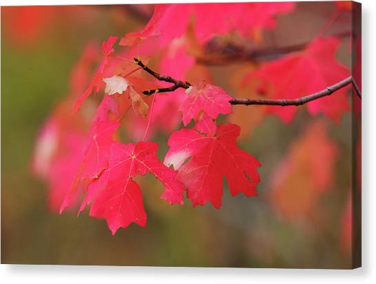 A Flash Of Autumn Canvas Print