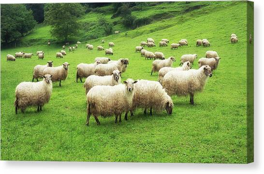 A Flock Of Sheep Canvas Print