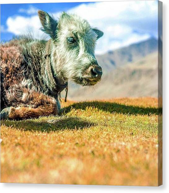 Yaks Canvas Print - A Fluffy Baby Yak by Aleck Cartwright