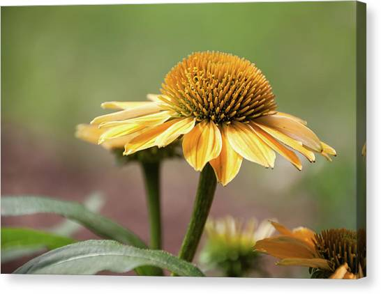 A Golden Echinacea -  Canvas Print