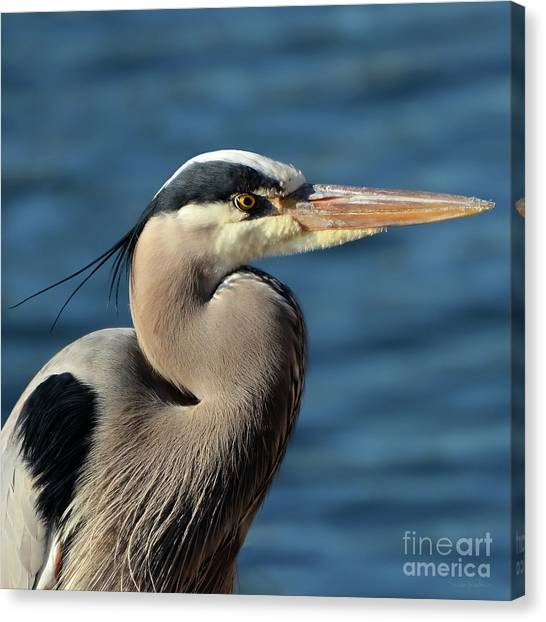 A Great Blue Heron Posing Canvas Print