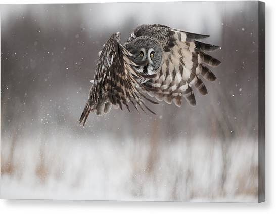 And Threatened Animals Canvas Print - A Great Gray Owl In Flight by