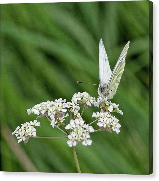 Animals Canvas Print - A Green-veined White (pieris Napi) by John Edwards