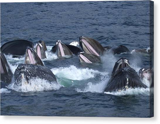 And Threatened Animals Canvas Print - A Group Of Humpback Whales Bubble Net by Ralph Lee Hopkins