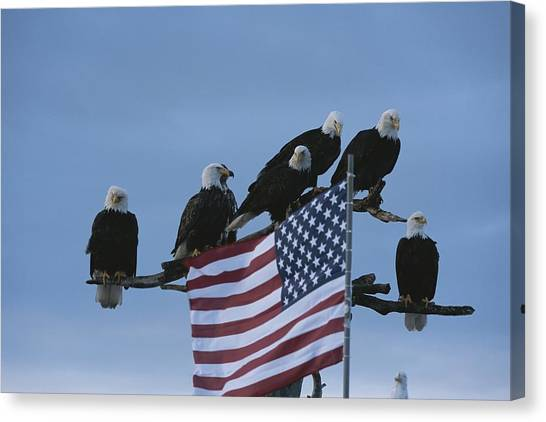 And Threatened Animals Canvas Print - A Group Of Northern American Bald by Norbert Rosing