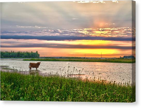 A Highland Cow In The Lowlands Canvas Print