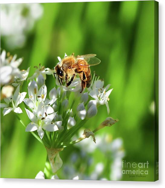 A Honey Bee At Work In An Herb Garden Canvas Print