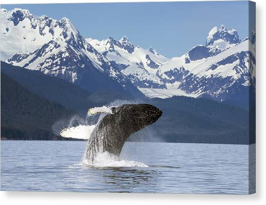 Tongass National Forest Canvas Print - A Humpback Whale Leaps  Breaches by John Hyde