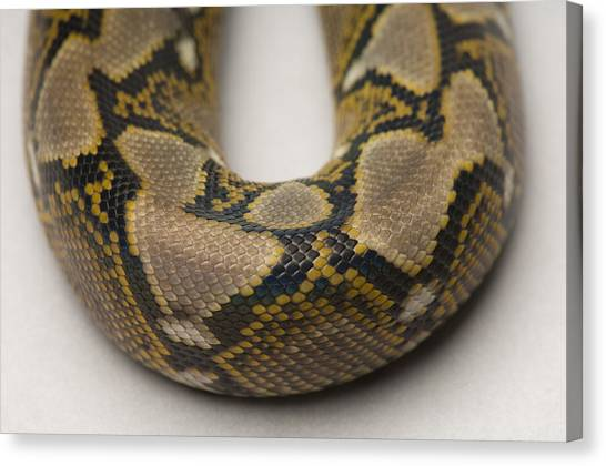 Reticulated Pythons Canvas Print - A Juvenile Reticulated Python by Joel Sartore