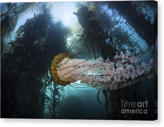 Kelp Forest Canvas Print - A Large Lions Mane Jellyfish Swims by Ethan Daniels