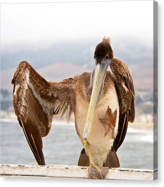 A Leg Up, Brown Pelican Canvas Print