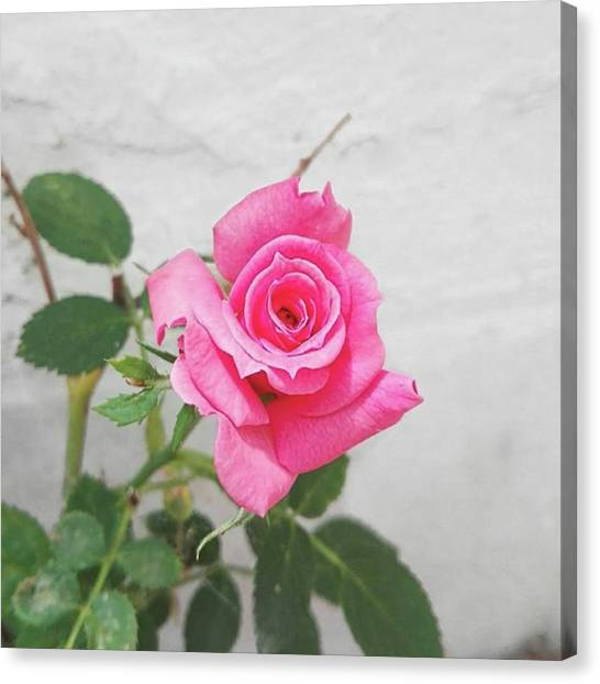 Romanticism Canvas Print - A Little Rose Has Bloomed In My by Erika Agostino