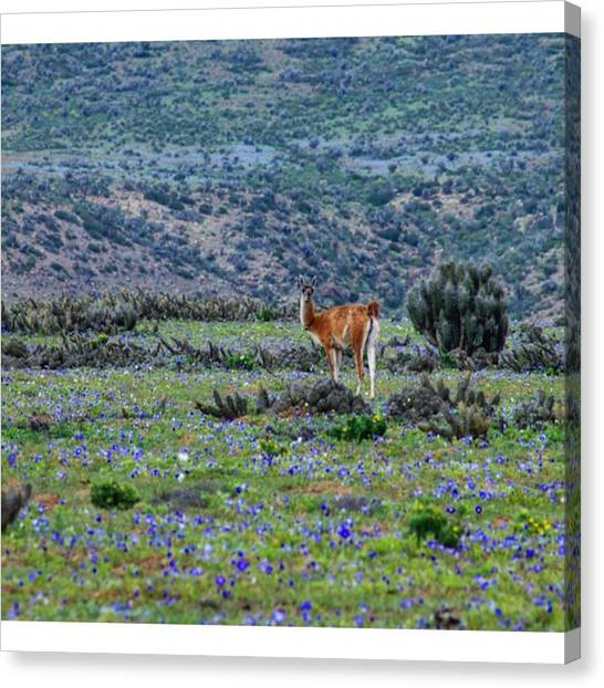 Llamas Canvas Print - A Lone Wild Guanaco Spotted Amongst The by Mark Nowoslawski